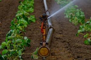 Erdbeerfeld bewässern